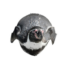 Funny penguin lies on his stomach isolated on white. African penguin close up.