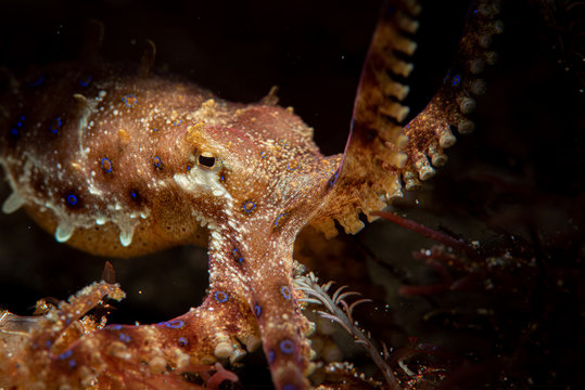 Bluering Octopus im Meer bei Anilao, Philippinen