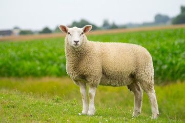 Foto op Aluminium Schapen Isolated dike sheep is looking at you from its meadow on farm background