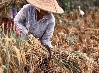 Woman workers harvesting rice field in the morning scene. The Farmer harvesting on the organic paddy rice farmland.