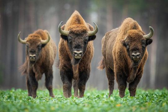 European bison - Bison bonasus in the Knyszyn Forest (Poland)