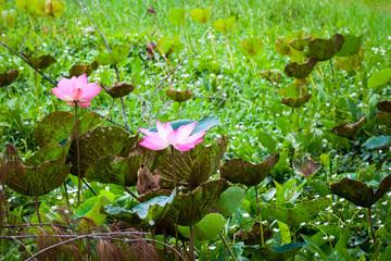 Wall Mural - Pink waterlily. Lotus flowers