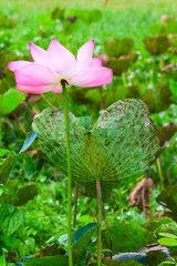 Wall Mural - Pink waterlily. Lotus flower grows in Malaysian rainforest