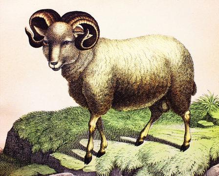 Merino sheep in a vintage book History of animals, by Shubert/Korn, 1880, St. Petersburg