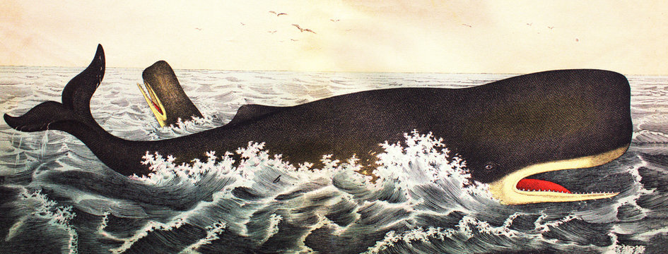 Sperm whale in a vintage book History of animals, by Shubert/Korn, 1880, St. Petersburg