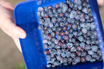Ripe Blueberries freshly picked in a container