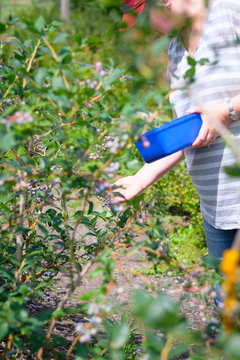 Woman picking fresh blueberries from bush in Summer