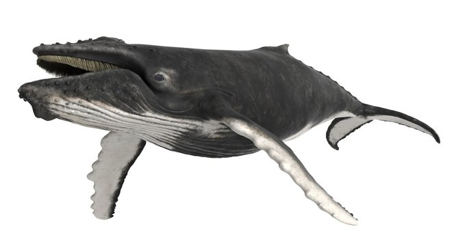 3d rendered humpback whale isolated on white background