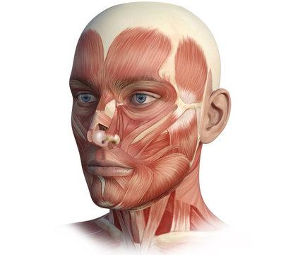 Face, head, anatomy digital illustration