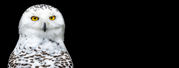 Snowy owl with a black background Fototapete