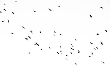 Real photo of flying crows on the white sky hi-res texture for designers