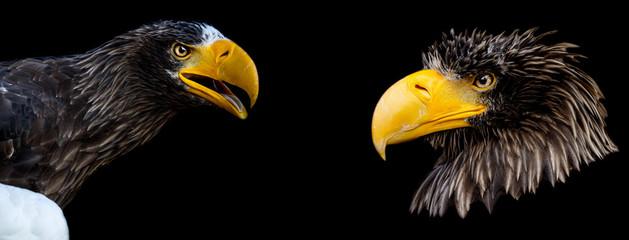 Foto auf Acrylglas Adler Sea Eagle Steller's with a black background