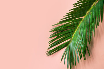 Beautiful feathery green palm leaf dangling on pink wall background. Summer tropical creative concept. Urban jungle houseplants interior design Wall mural
