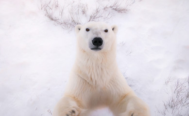 In de dag Ijsbeer Polar bear in the snow.
