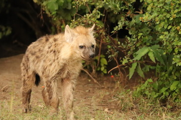 Fotobehang Hyena Spotted hyena cub (crocuta crocuta) by its den in the african savannah.