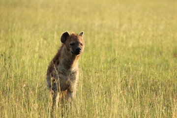 Fotobehang Hyena Spotted hyena (crocuta crocuta) standing in the african savanna.