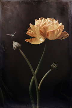 Ranunculus yellow with bud and fly