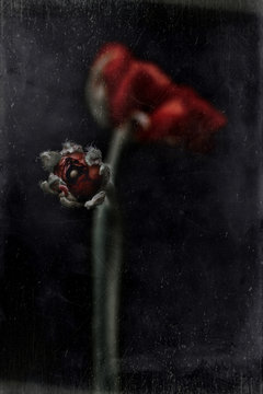 Ranunculus bud, red, black background