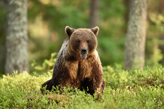 brown bear sitting in forest scenery