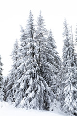 Fir trees in a lot of snow