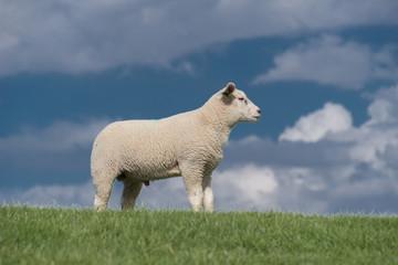 Acrylic Prints Sheep schapen op de dijk