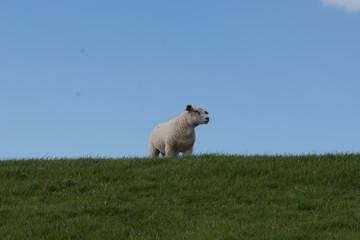 Fototapeten Natur schapen op de dijk