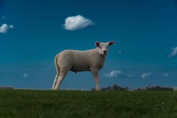 Garden Poster Sheep schapen op de dijk