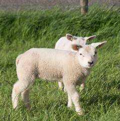 Canvas Prints Sheep schapen op de dijk