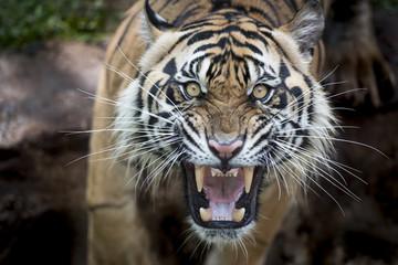 Photo sur Plexiglas Tigre Tigre enfadado hambriento