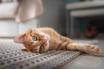 gato atigrado perezoso se estira sobre la alfombra y mira a la cámara Wall mural