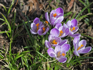 Aluminium Prints Crocuses Krokus