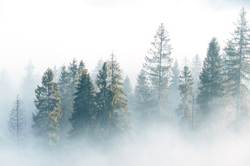 Aluminium Prints Autumn Fog over spruce forest trees at early morning. Spruce trees silhouettes on mountain hill forest at autumn foggy scenery.
