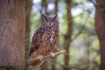 Wall Mural - Euroasian Eagle Owl