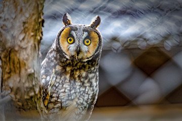 Fototapete - Great Horned Owl