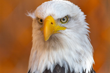 Fototapete - Bald Eagle