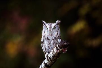 Fotomurales - Screech Owl