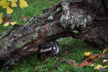 Eastern Spotted Skunk (Spilogale putorius) Hides Out Under Log Autumn
