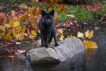 Silver Fox (Vulpes vulpes) Poses on Island Rock Autumn