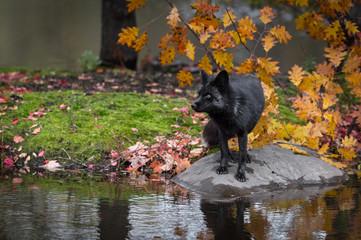 Silver Fox (Vulpes vulpes) Looks Left From Island Rock Autumn