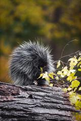 Porcupine (Erethizon dorsatum) Sits in Rain Nibbling Autumn