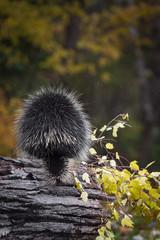 Porcupine (Erethizon dorsatum) in Rain Back to Viewer with Autumn Branch