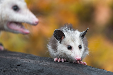 Fotomurales - Virginia Opossum (Didelphis virginiana) Joeys on Log Mother in Background Autumn