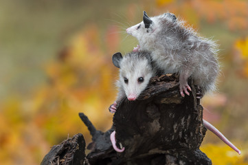 Virginia Opossum (Didelphis virginiana) Joeys Cry Out at Log End Autumn