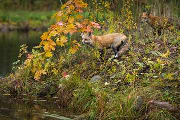 Red Foxes (Vulpes vulpes) Look Out To Water Autumn