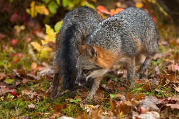 Grey Foxes (Urocyon cinereoargenteus) Pass Each Other Autumn