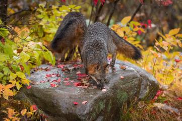 Grey Foxes (Urocyon cinereoargenteus) Sniff About Atop Rock Autumn