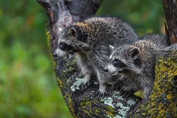 Raccoons (Procyon lotor) Look Left From Tree in Rain Autumn