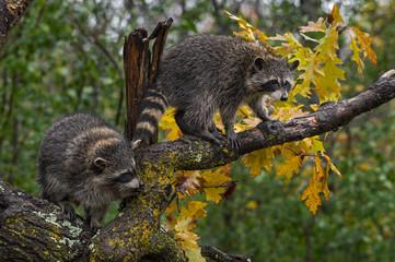 Raccoons (Procyon lotor) Balance in Tree Autumn