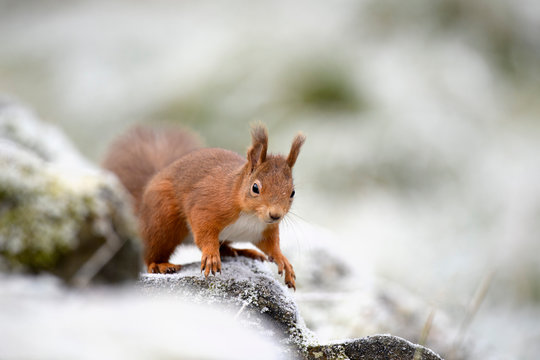Portrait of Red Squirrel in winter