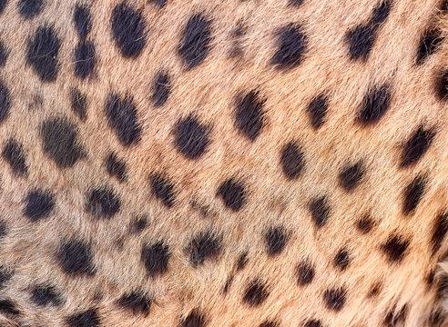 Cheetah skin, Damaraland, Namibia